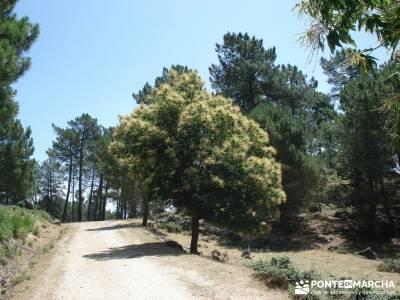 Pinares de Piedralaves; senderismo sierra de madrid el tiemblo castañar parque natural de la sierra